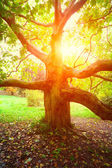 Old sycamore tree and sun light — Stock Photo
