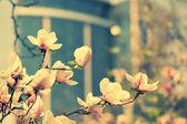 Magnolia flower in city park, vintage colors photo  — Stock Photo