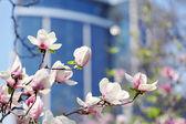 Magnolia flower in city park — Stock Photo