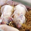 Stock Photo: Piglets