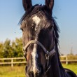 Stock Photo: Thoroughbred horse portrait