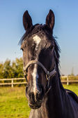 Thoroughbred horse portrait — Stock Photo