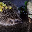 Stock Photo: Hedgehog preparing for winter