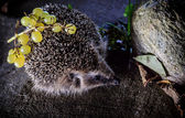 Hedgehog preparing for winter — Stock Photo