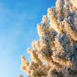 Winter fir-tree branches — Stock Photo