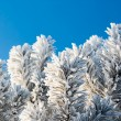 Winter fir-tree branches — Stock Photo #18475573