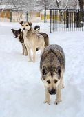 Flock of homeless dogs in winter — Stock Photo