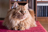 Big fluffy ginger cat — Stock Photo