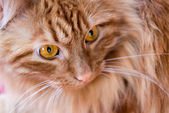 Red cat with huge yellow eyes closeup — Stock Photo