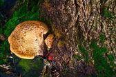 Fungos nas árvores — Fotografia Stock