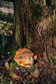 Fungos nas árvores — Foto Stock