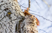 Kızıl sincap — Stok fotoğraf