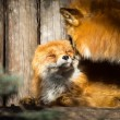 Stock Photo: Pair of red foxes