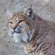 Stock Photo: AmericBobcat
