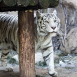 Stock Photo: White Benagal Tiger