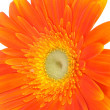 Stock Photo: Orange gerberdaisy