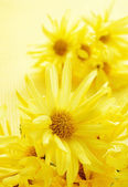 Yellow gerbera daisies — Stock Photo