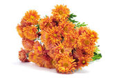 Orange chrysanthemums — Stock Photo