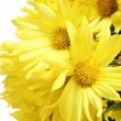 Stock Photo: Bunch of yellow gerbera