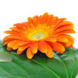 Stock Photo: Gerberdaisy