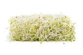 Alfalfa sprouts — Stock Photo
