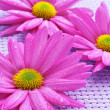 Pink chrysanthemums — Foto de Stock