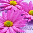 Pink chrysanthemums — Photo