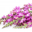 Pink broom flowers - Stock Photo