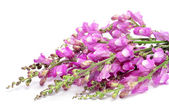 Pink broom flowers — Stock Photo
