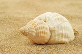 Spired conch shell on the sand — Stock Photo