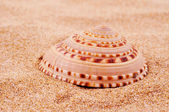 Conch on the sand — Stock Photo