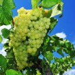 Grapes on a vine — Stock Photo #30885301