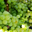 Grapes on a vine — Stock Photo #30885705