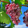 Grapes on a vine — Stock Photo