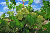 Druvor på en vinstock — Stockfoto