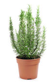 Rosemary plant — Stock Photo