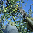 Harvesting arbequina olives in an olive grove in Catalonia, Spai — Stock Photo