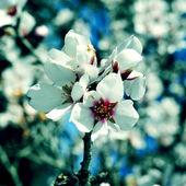 杏仁的花朵 — 图库照片