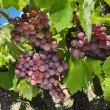 Grapes on a vine — Stock Photo #47192883