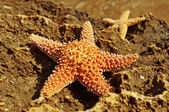 Starfishes on a rock — Stock Photo