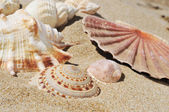 Seashells on the sand of a beach — Stock Photo