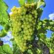 Grapes on a vine — Stock Photo #49027789