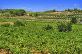 Vineyard with ripe grapes in Catalonia, Spain — Stock Photo