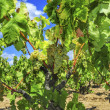Grapes on a vine — Stock Photo #49287823