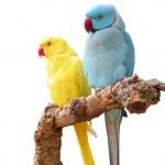 Rose-ringed Parakeets — Stockfoto #3545524