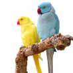 Rose-ringed Parakeets — Stock Photo #3545524