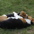 Beagles — Stock Photo #17689689