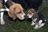 Cachorro beagle llegó — Foto de Stock