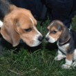 Stock fotografie: Beagle puppy