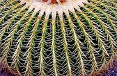 Barrel cactus — Stock fotografie